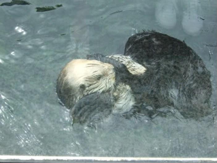 Vancouver Aquarium sea otters