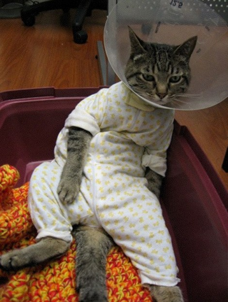 Cat wearing clothes and cone of shame while posed in a vulgar position