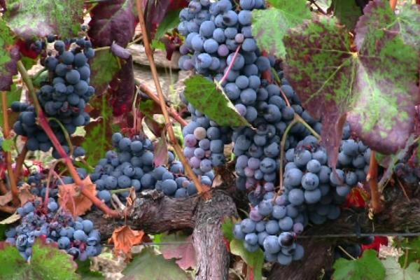 autumn-vineyards-red-grapes