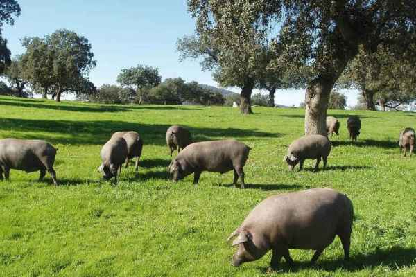 dehesa iberian pigs