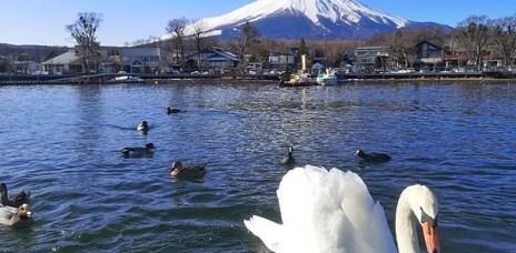 。山梨縣 山中湖。初訪山中湖,踩天鵝船賞富士山,短暫美好的回憶?