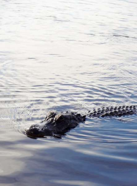 alligator up close and personal