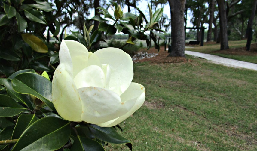 Sweet Southern Magnolias Blossom In The Lowcountry