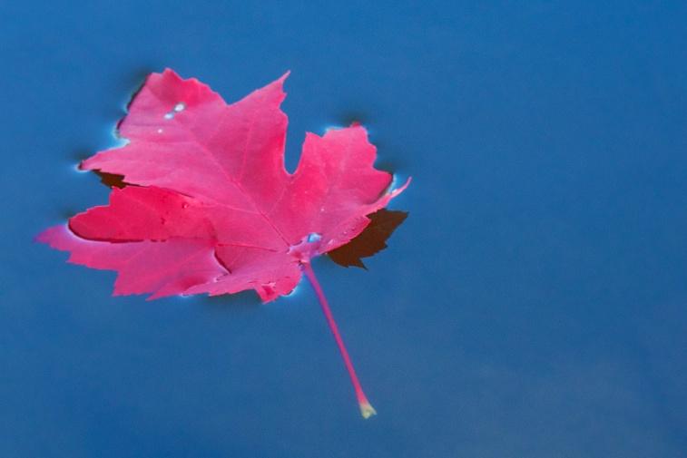 Maple Leaf 10