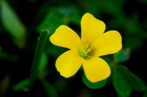 Yellow Buttercup