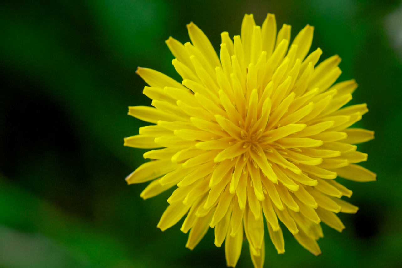 Force of Nature (dandelion)11