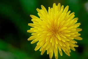 Force of Nature (dandelion)11