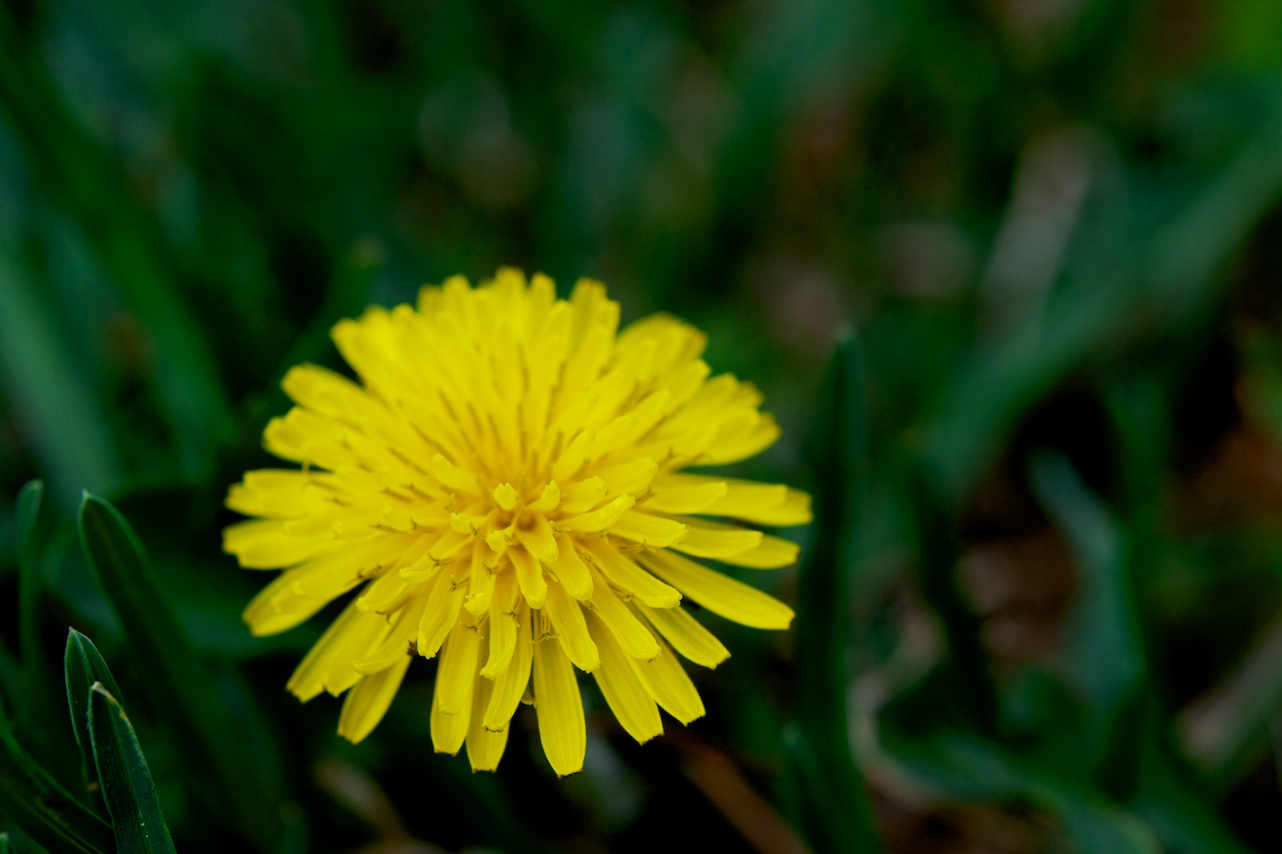Force of Nature (dandelion)6