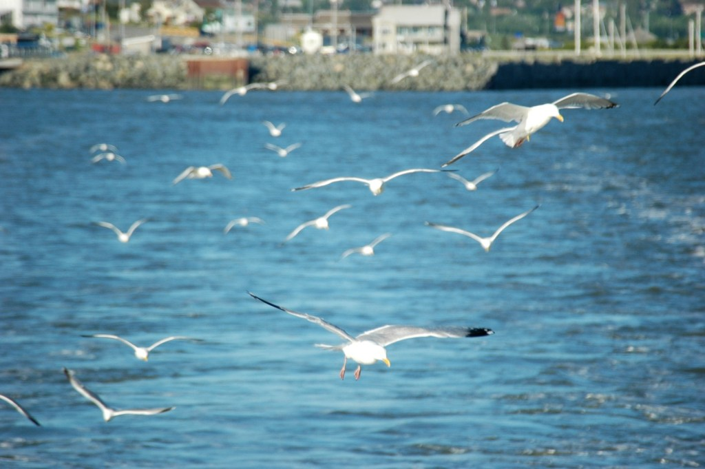 Gulls on the Way (ferry)