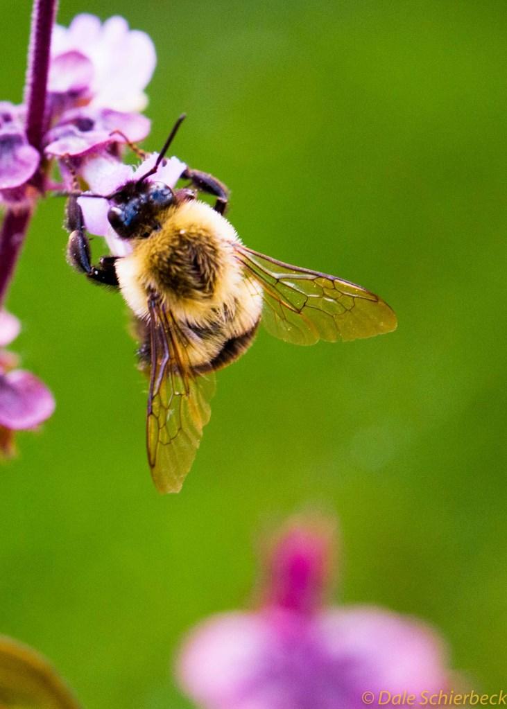 Bumblebee Feasts on Basil