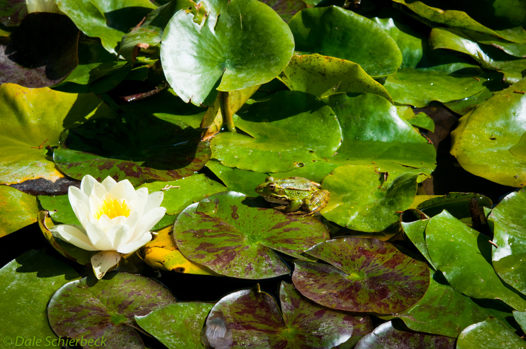 Lilies and Green Frog