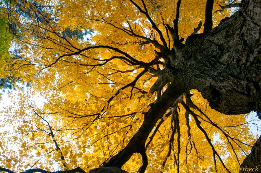 Looking up tree with golden leaves