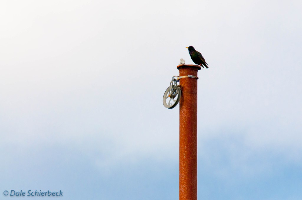 Blackbird on Chimney