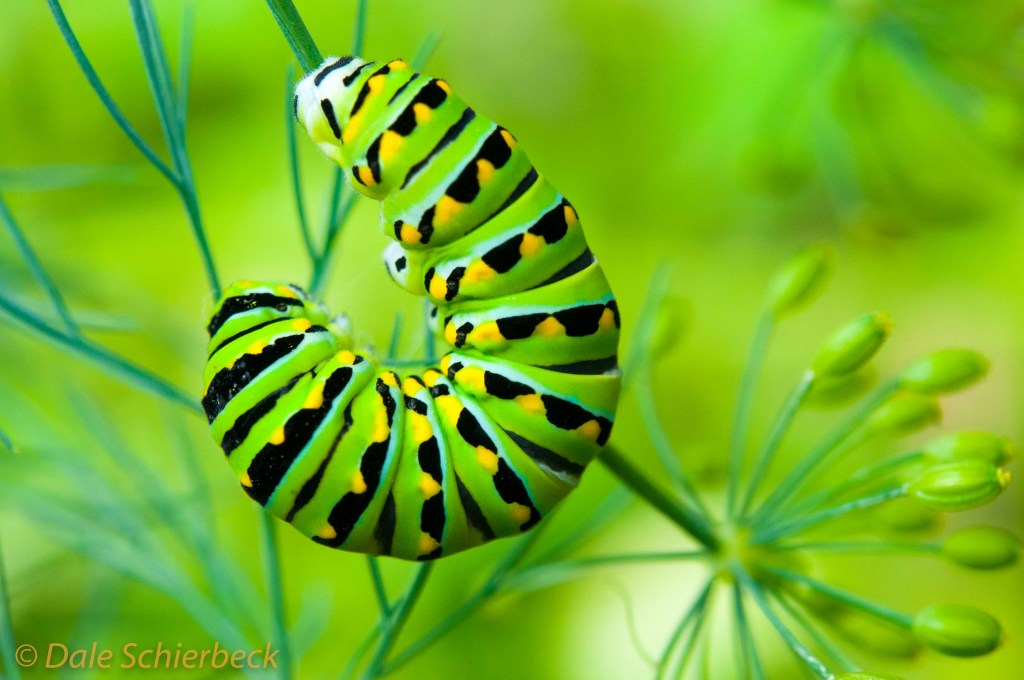 Green Swallowtail Caterpillar