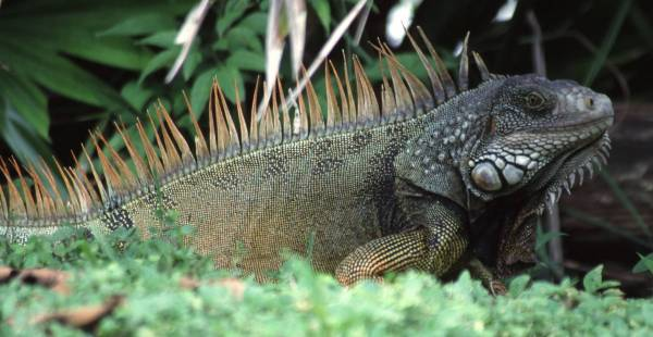 Puerto Rico plans harvest of invasive iguanas