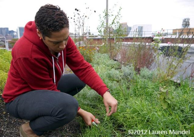 """Harvesting High Altitude Herbs"" - Eagle Street Rooftop Farm, NY || (c)2012 Lauren Mandel"