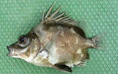 Tsubo Dai(つぼ鯛)/Japanese Boarfish Reference From: WEB魚図鑑