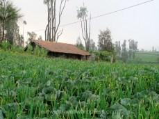 Les plantations de légumes à Cemoro Lawang