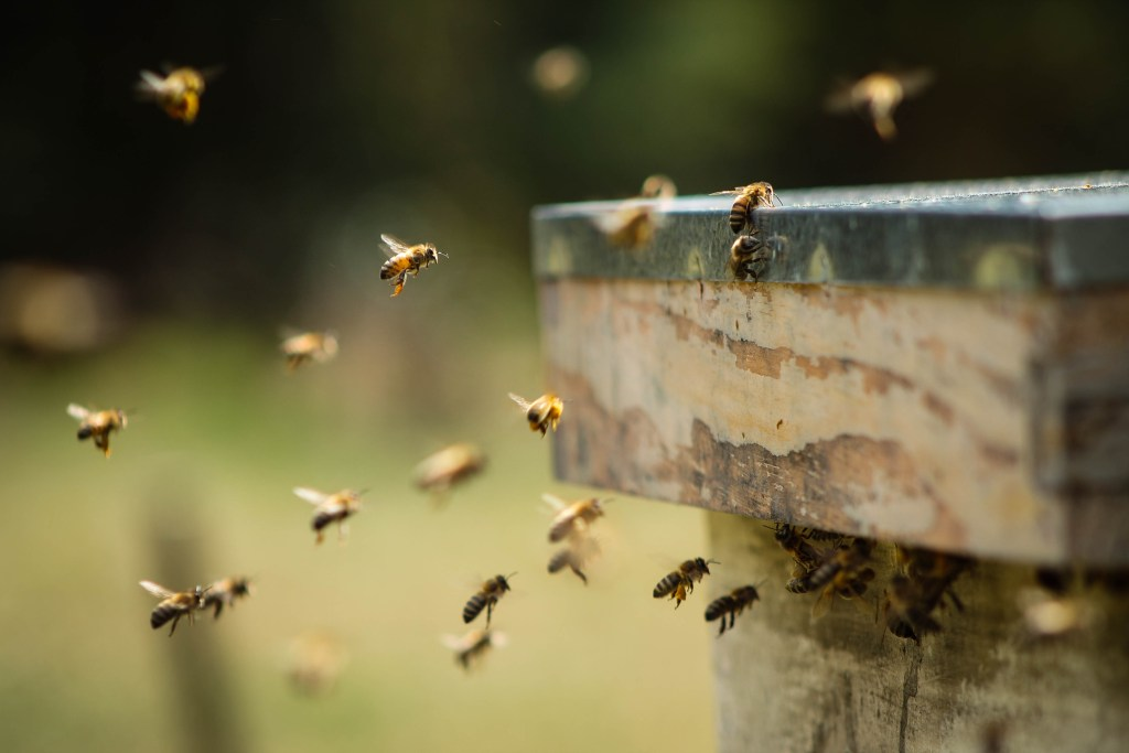 Honey bees returning to the hive.