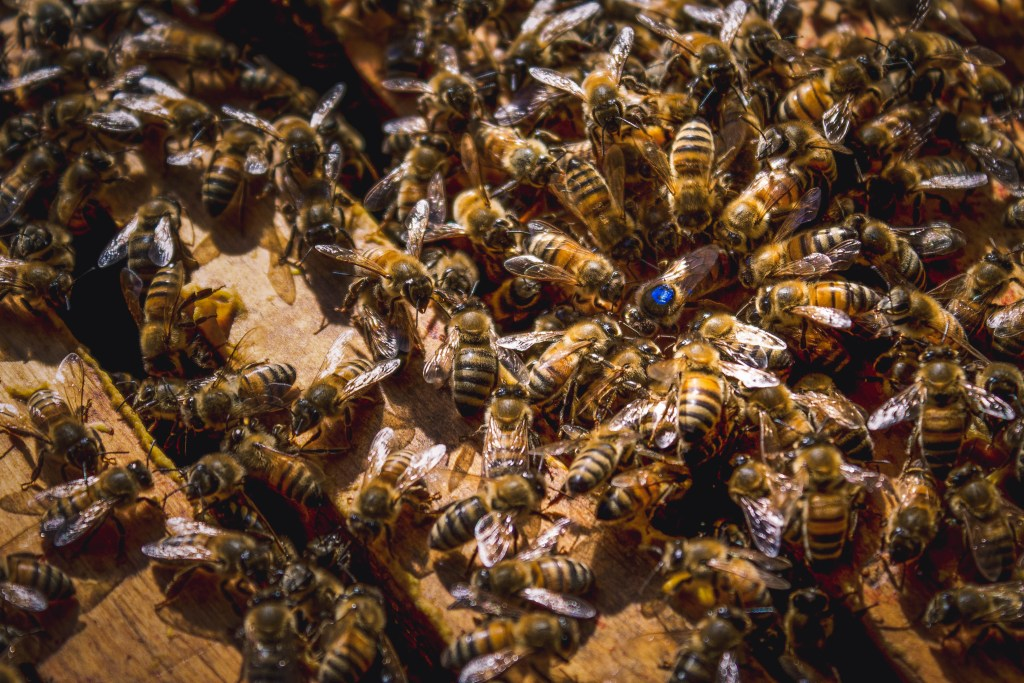 Queen bee surrounded by workers.