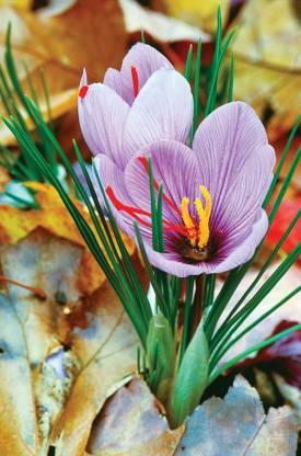 HBC-DJ11-saffron-flower-sar59040