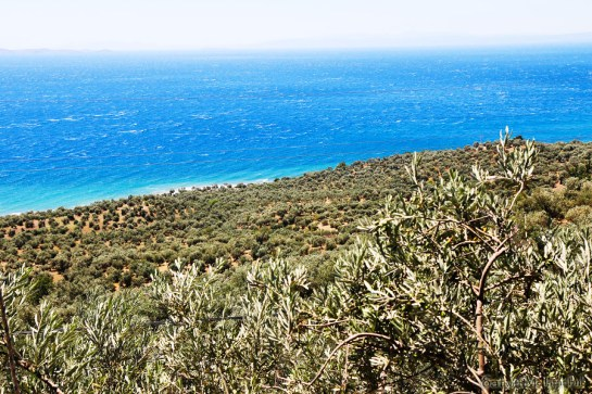 olive ege