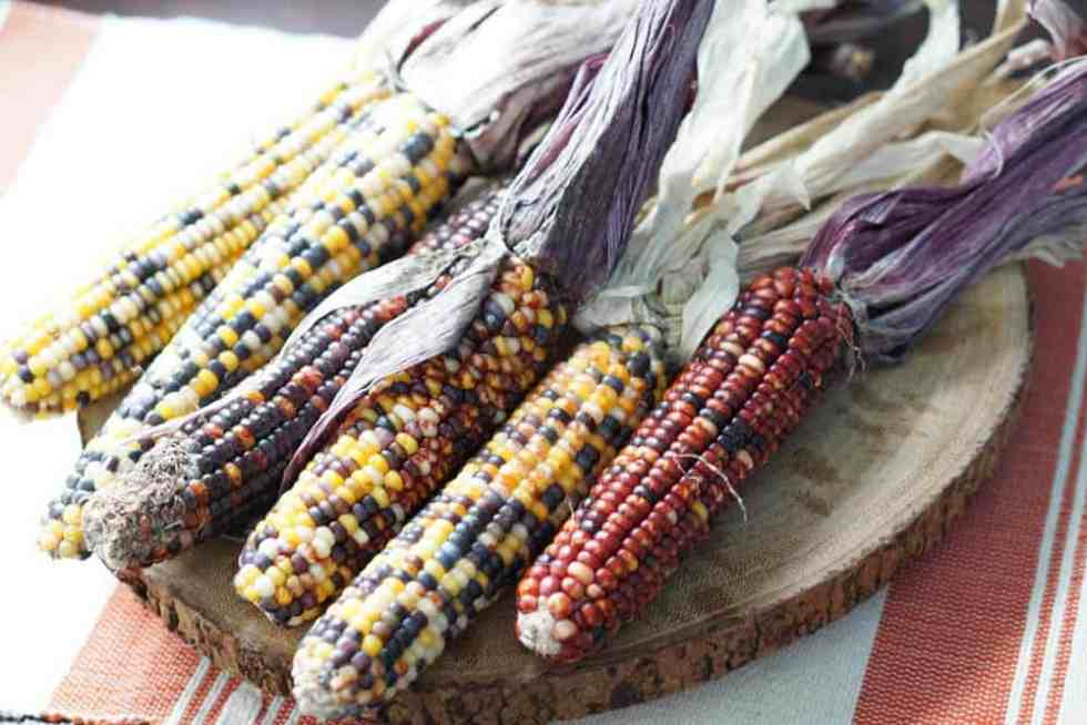 This beautiful colorful indian corn is not meant just for decoration. It's edible too and great for masa, grits, papusas and popcorn