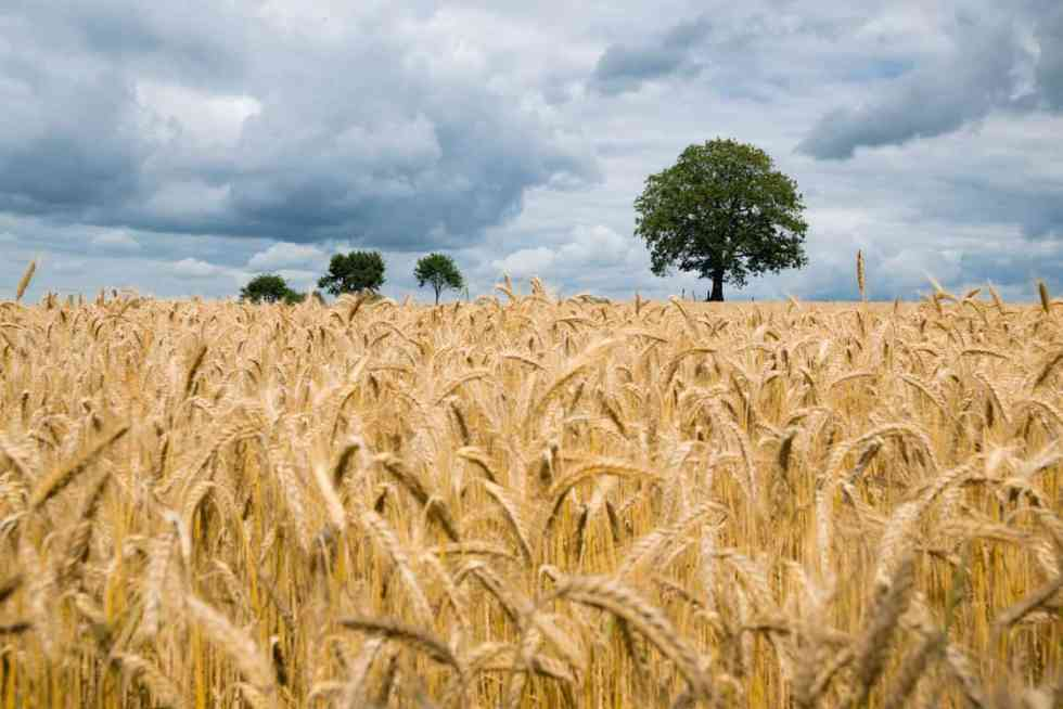 a golden field of wheat with large green trees and a cloudy sky in the background.