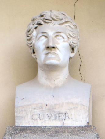cuvier-buste