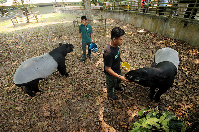 Selangor, Malaysia: Meeting the Malayan Tapirs of Sungai Dusun Wildlife Conservation Center