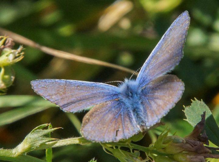 Foranderlig blåfugl, insekter