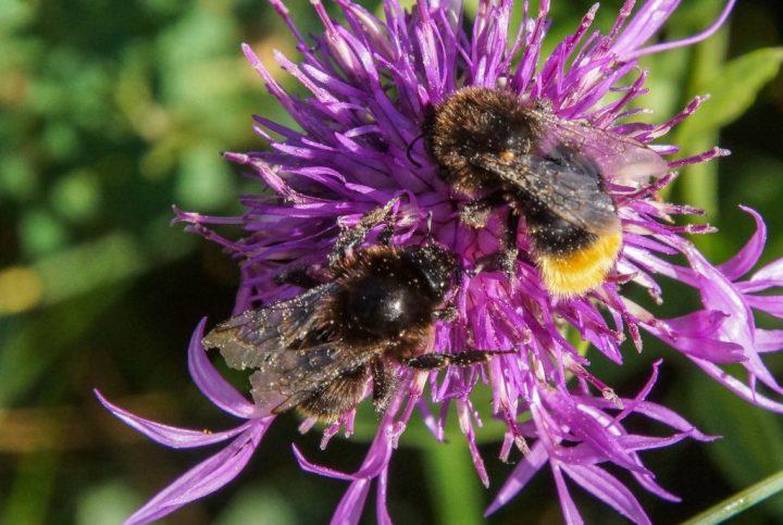 humlebier, insekter