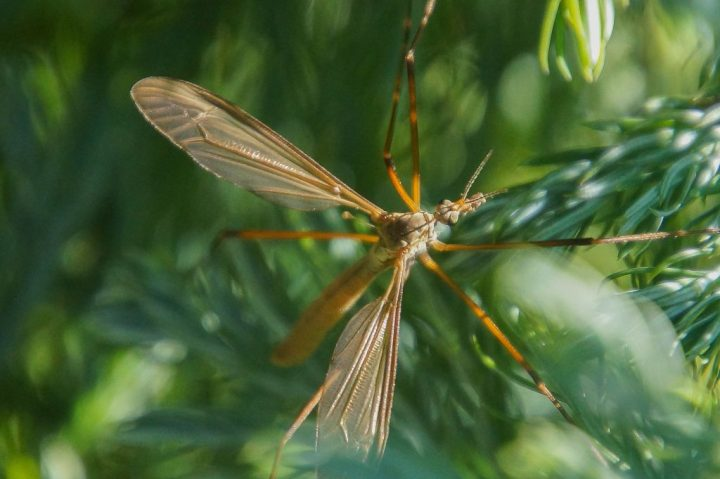 stankelben, insekter