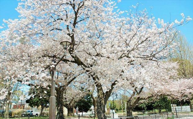 和田堀公園の桜