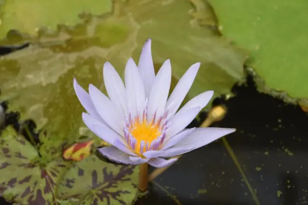 A picture of of a blooming lily. Come in the morning as flowers close in mid-day in Kenilworth Park and Aquatic Gardens