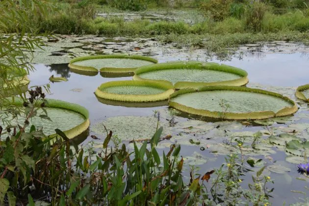 Kenilworth Aquatic Gardens are famous for the Victoria Water Lily - E-bike Lovers