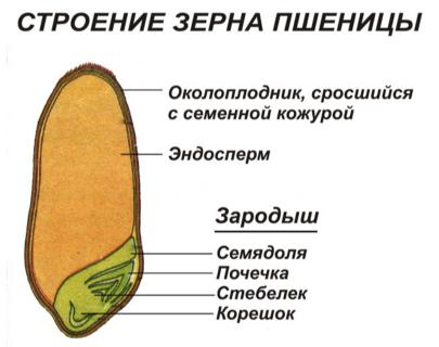 Image result for семя