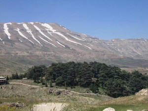 cedar-of-lebanon-forest