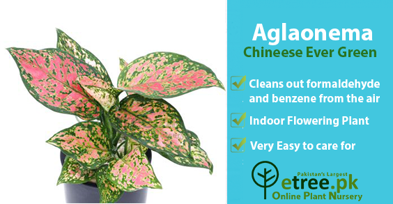 Aglaonema benefits, Air Purifying Plants in Pakistan by eTree.pk