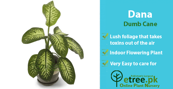 Dumb Cane Plant benefits, Air Purifying Plants in Pakistan by eTree.pk