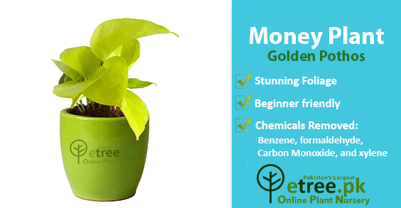 Money Plant benefits, Air Purifying Plants in Pakistan by eTree.pk