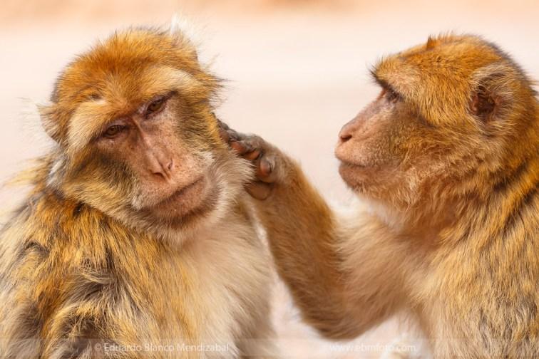 monkey-morocco