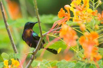 Copper-throated Sunbird (Leptocoma calcostetha, male)