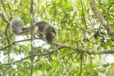 Giant Tree Squirrel (Ratufa affinis)