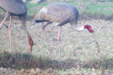 I had seen Sarus Cranes before and seeing them again still makes me excited yet sad because these cranes can no longer be seen in the Philippines.