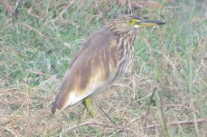 I sat by a pond waiting for other birders to come back when this Indian Pond-Heron alighted near enough to afford me good views.