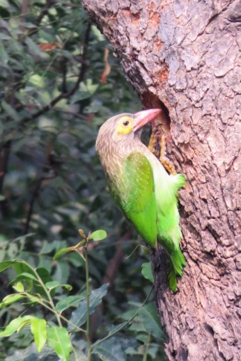 This Brown-headed Barbet was busy chipping the wood away oblivious to birdwatchers gathered around.