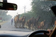 A herd of camels by the roadside, I just had to take this photo!