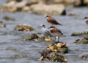 Various shorebirds in breeding plumage