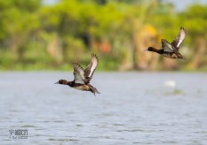 Tufted Ducks (Aythya fuligula) in flight